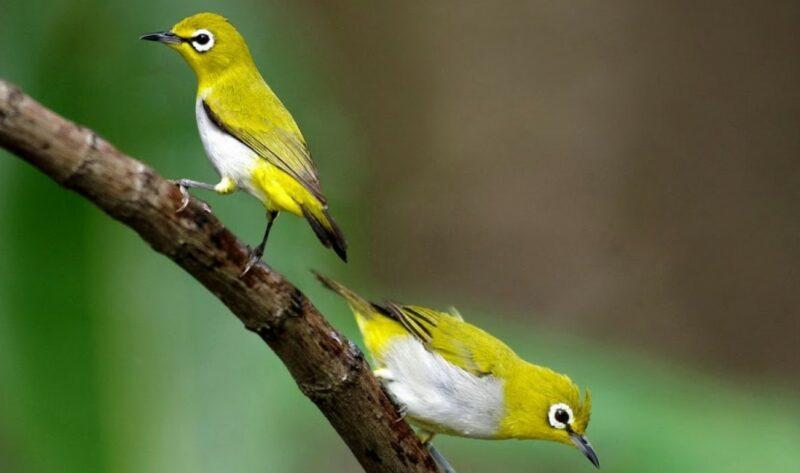 Cara Membedakan Burung Pleci Jantan Dan Betina Mudah Akurat