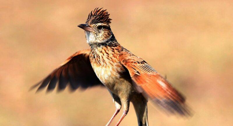 Cara Merawat Burung Branjangan Agar Rajin Bunyi Gacor Dan Ngeplong