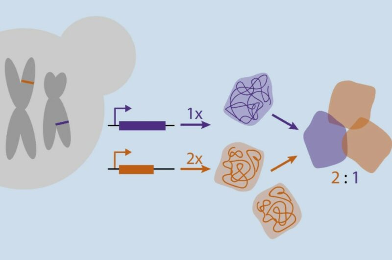 Tahapan Sintesis Protein